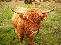 256px Highland Cattle 10