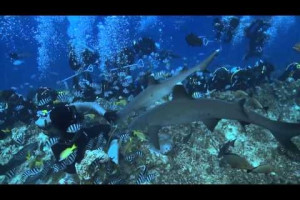 Beqa Adventure Divers - The Fiji Shark Dive